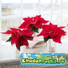 Рождественские цветы
