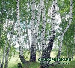 Загадки о деревьях. Береза