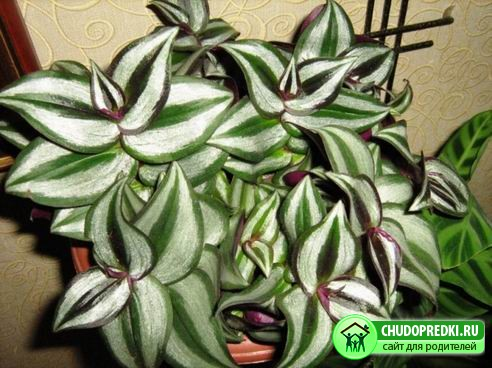 Традесканция - неприхотливое растение для дома