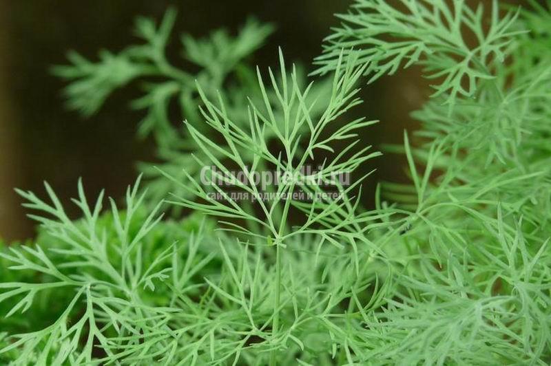 Как вырастить ароматную зелень: секреты посадки петрушки и укропа